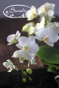 orkidea 01