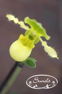 orkidea 02