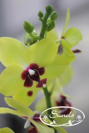 orkidea 03