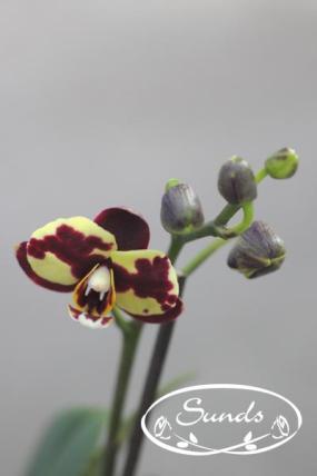 orkidea 04