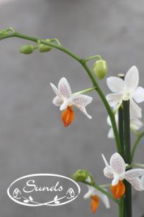 orkidea 05