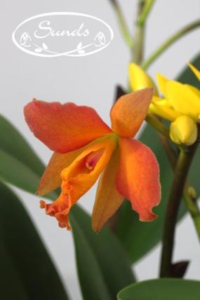 orkidea 06