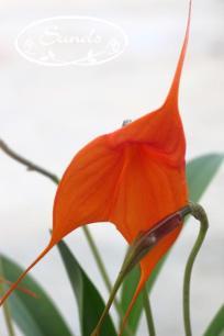 orkidea 07