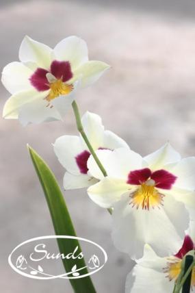 orkidea 08