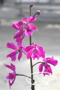 orkidea 09