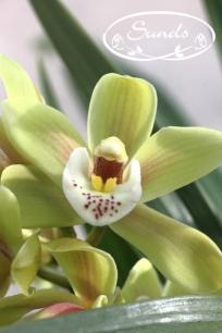 orkidea 10