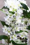 orkidea 11