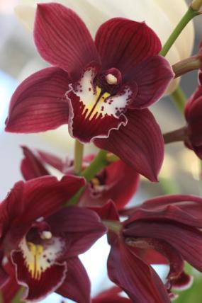 orkidea 14