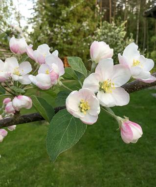 01 Äppel - Omena