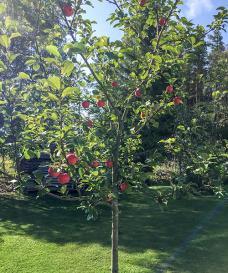 02 Äppel - Omena