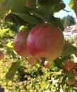 03 Äppel - Omena