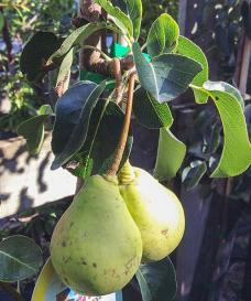 04 Päron - Päärynä