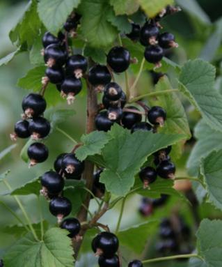 06 Vinbär - Mustaherukka