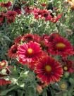 05 Gaillardia aristata 'Spintop Red'