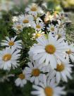 06 Leuchanthemum sup. 'Snow Lady'
