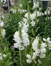 07 Physostegia virg 'Chrystal peak white'