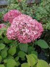 Hydrangea arb. 'Pink Annabelle'