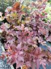 Physocarpus opul. 'Amber Jubilee'
