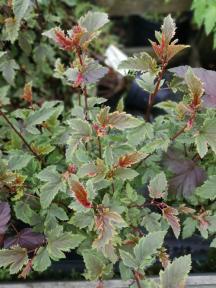 Physocarpus opul. 'Camelont'