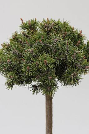 08 Pinus mugo 'Benjamin'