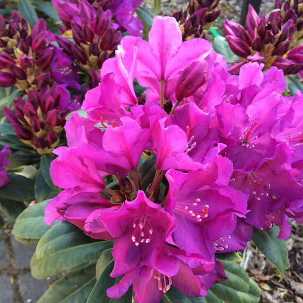 Rhododendron 'Royal Lilac'